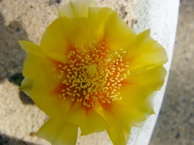 South Philly Cactus FlowerClose Up2