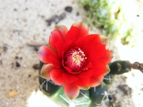 South Philly Cactus FlowerClose Up3