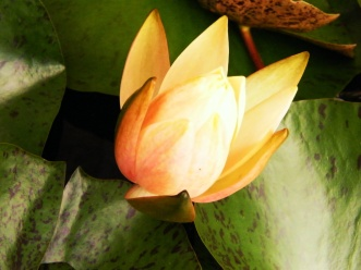 Water Lilly2
