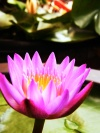 Water Lilly3