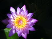 Water Lilly4