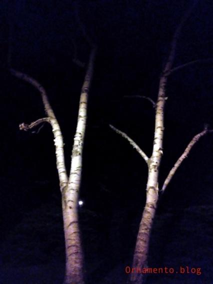 BirchesbyNight